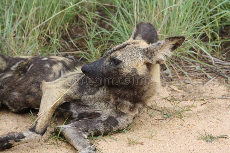 非洲豺狗lazing在路旁边 免版税库存照片