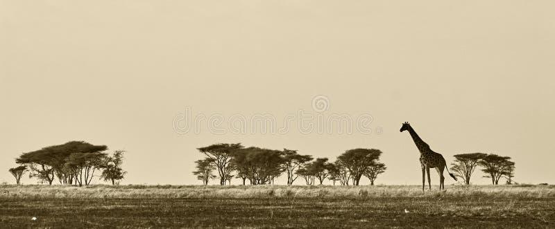 非洲长颈鹿横向 免版税库存图片