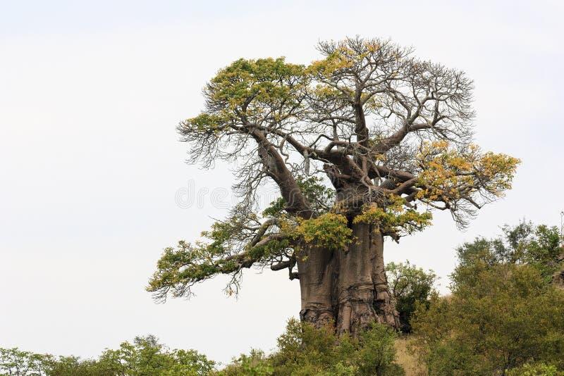 非洲猴面包树结构树 免版税图库摄影