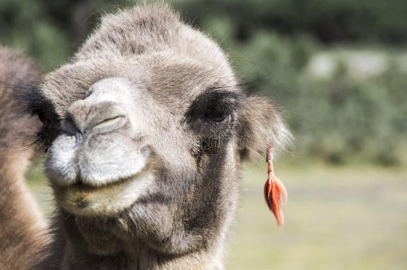 非洲骆驼,与耳环的独峰驼portraint在de desert,非洲(C的撒哈拉大沙漠 dromedarius) 也叫阿拉伯骆驼 免版税图库摄影