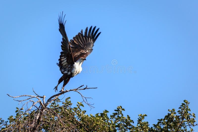非洲鱼鹰, Haliaeetus vocifer,为它的牺牲者到达下来在被充斥的沼泽地在Okavango 免版税库存照片