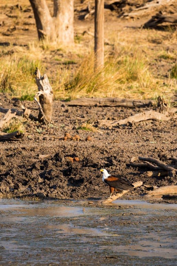 非洲鱼鹰Haliaeetus vocifer栖息在地面上的,南非 免版税库存图片