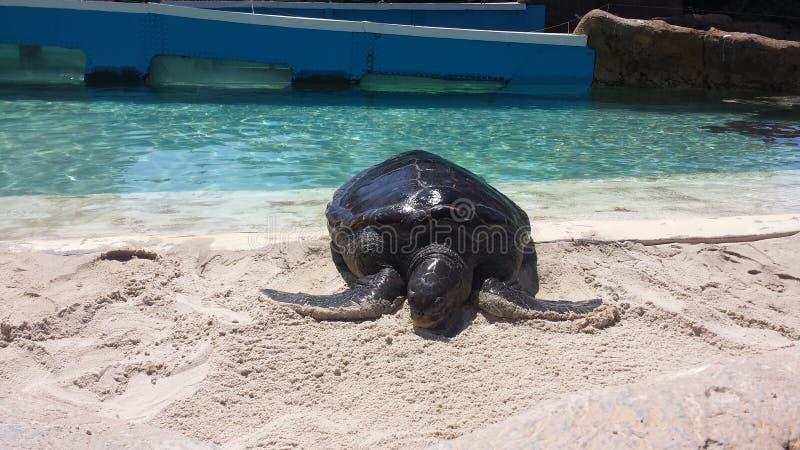靠岸的乌龟 库存照片