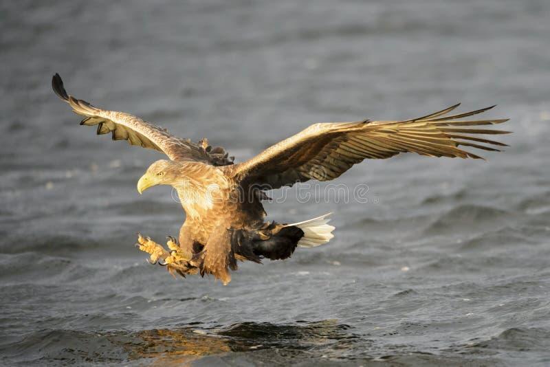水面上白被盯梢的海鹰 库存照片