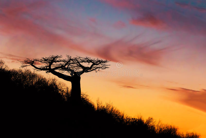 猴面包树在日落马达加斯加以后的树剪影 免版税库存图片
