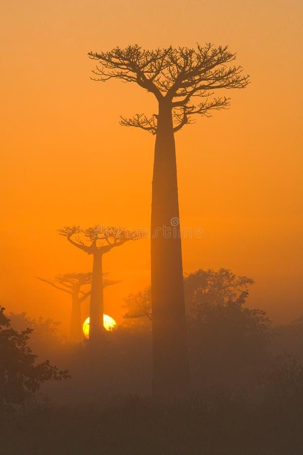 猴面包树大道在薄雾全视图的黎明 马达加斯加 免版税库存图片