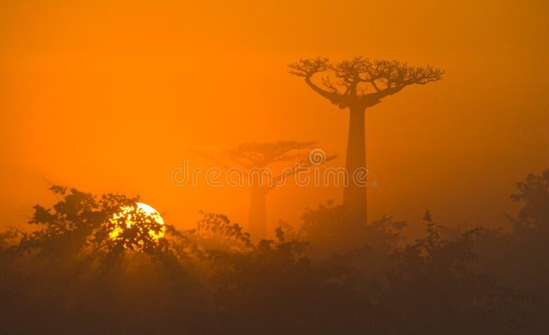 猴面包树大道在薄雾全视图的黎明 马达加斯加 库存图片