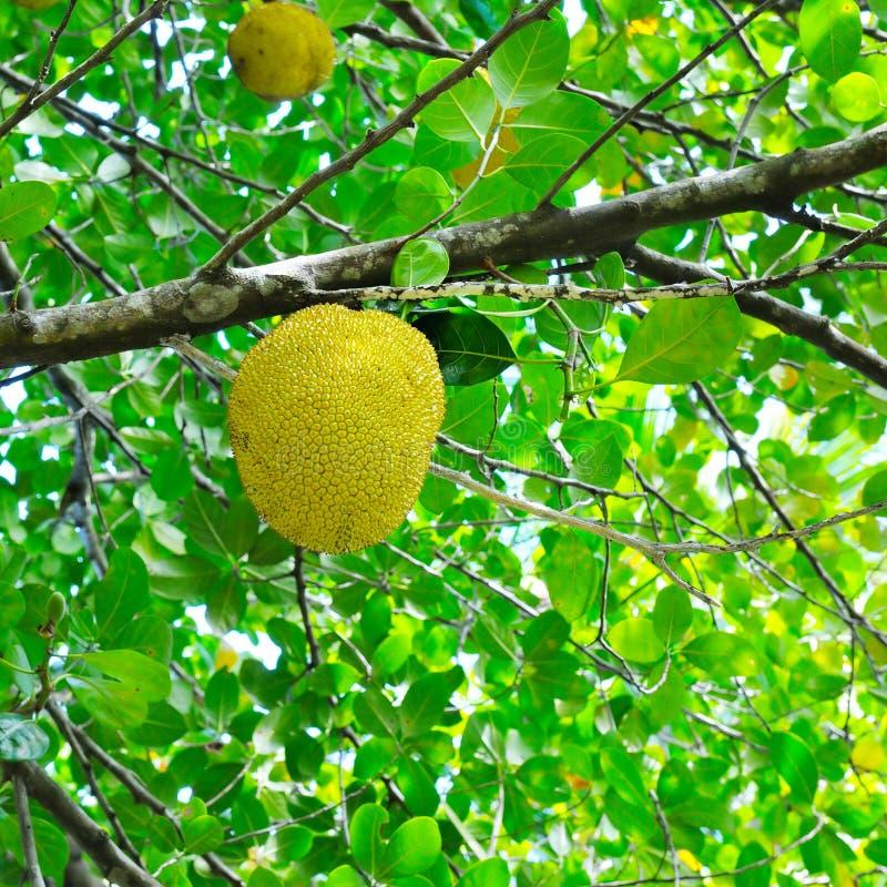 面包树果和绿色叶子 免版税图库摄影