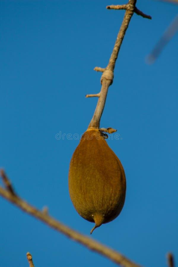 猴面包树果子 免版税库存照片