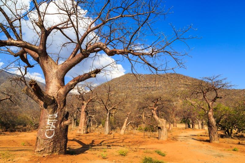 猴面包树树森林在非洲 免版税库存照片