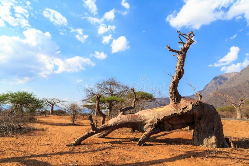 猴面包树树残破的树干在猴面包树森林里 免版税库存图片