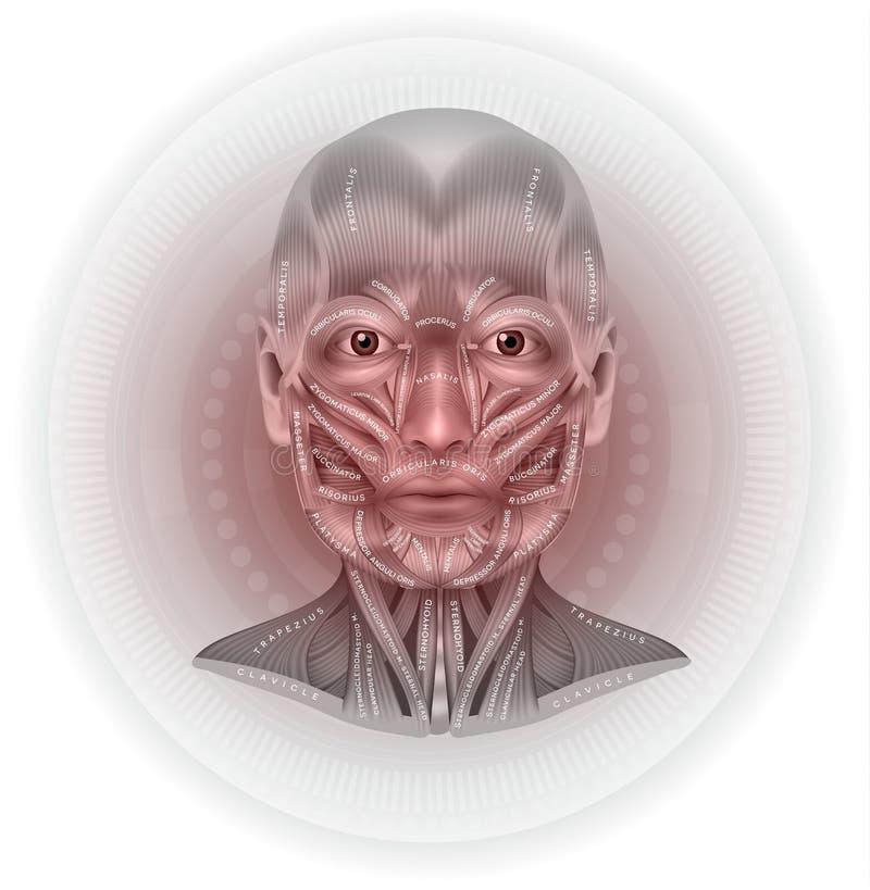 面孔和脖子 皇族释放例证