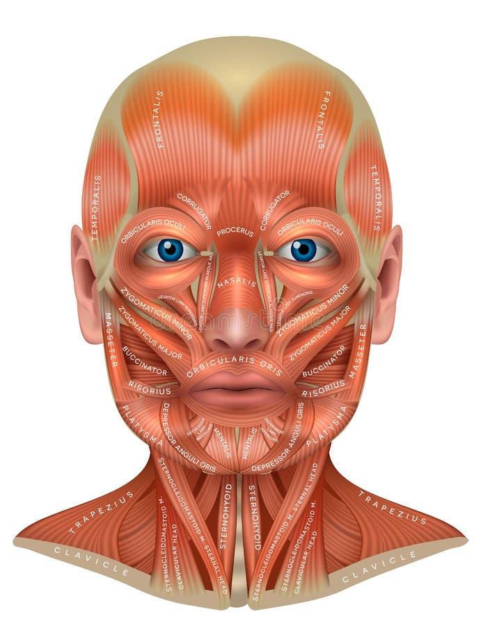 面孔和脖子 库存例证