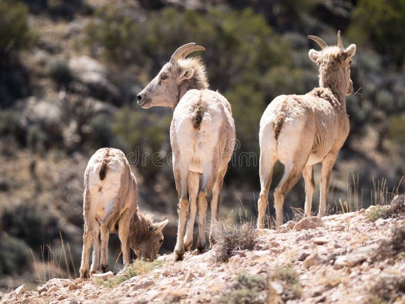 面对三只大角野绵羊的母羊  库存图片