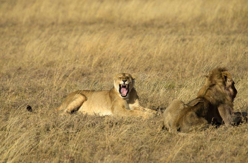 面对与嘴的雌狮照相机开放 免版税库存照片