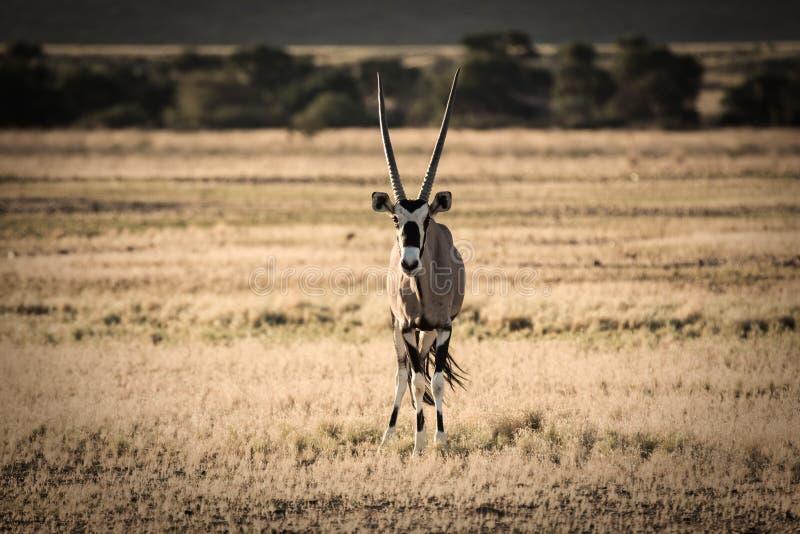 面对照相机的大羚羊羚羊属在纳米比亚沙漠 库存图片
