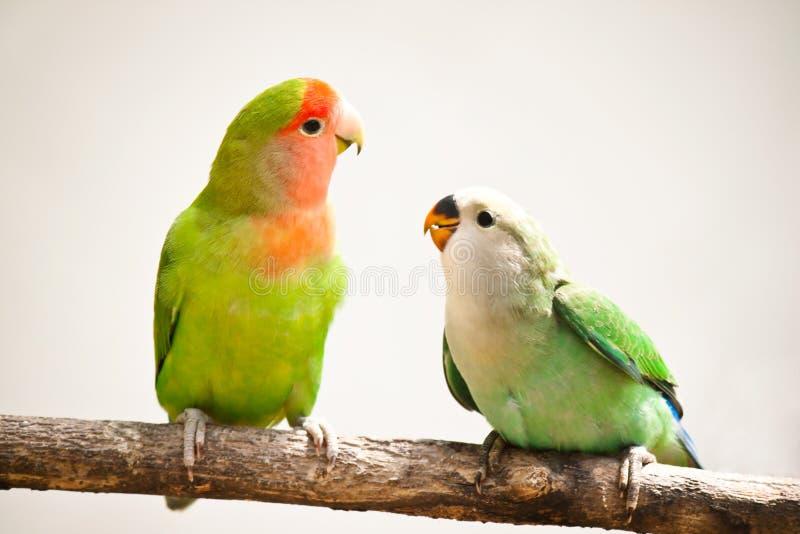 面对爱情鸟桃子 库存图片
