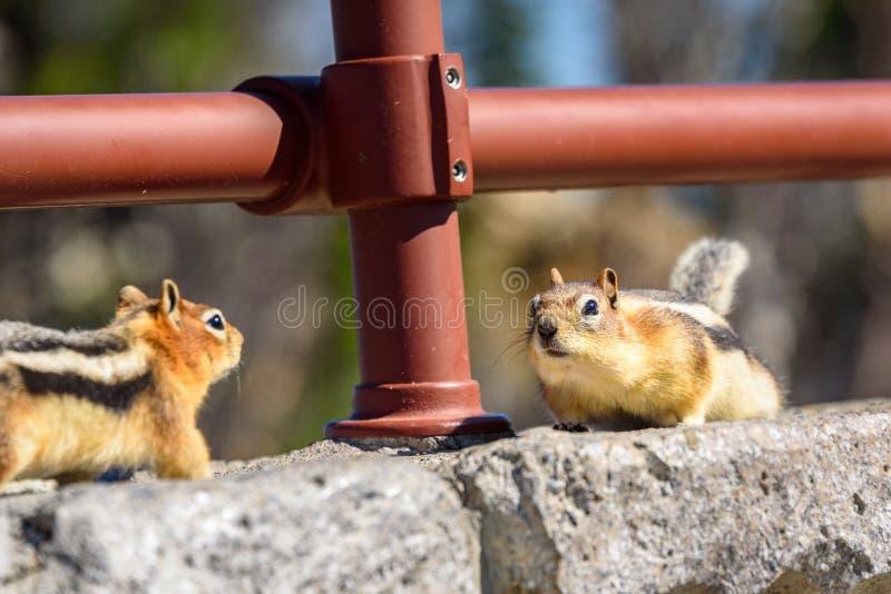 面对的两只地松鼠在岩石 金黄陆运被覆盖的灰鼠 免版税图库摄影