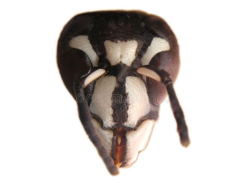 面对的大黄蜂白色 免版税库存照片