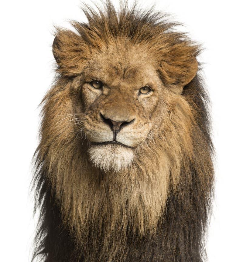 面对的狮子的特写镜头,豹属利奥, 10岁,被隔绝 免版税库存照片