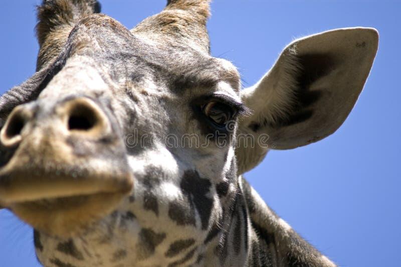 Download 面对长颈鹿 库存图片. 图片 包括有 耳朵, 幽默, 纵向, 滑稽, 详细资料, 古怪, 长颈鹿, 娱乐, 鼻子 - 184233
