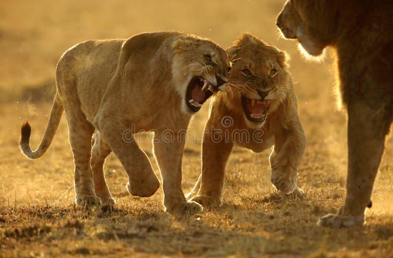 面对雌狮的愤怒狮子 免版税库存照片