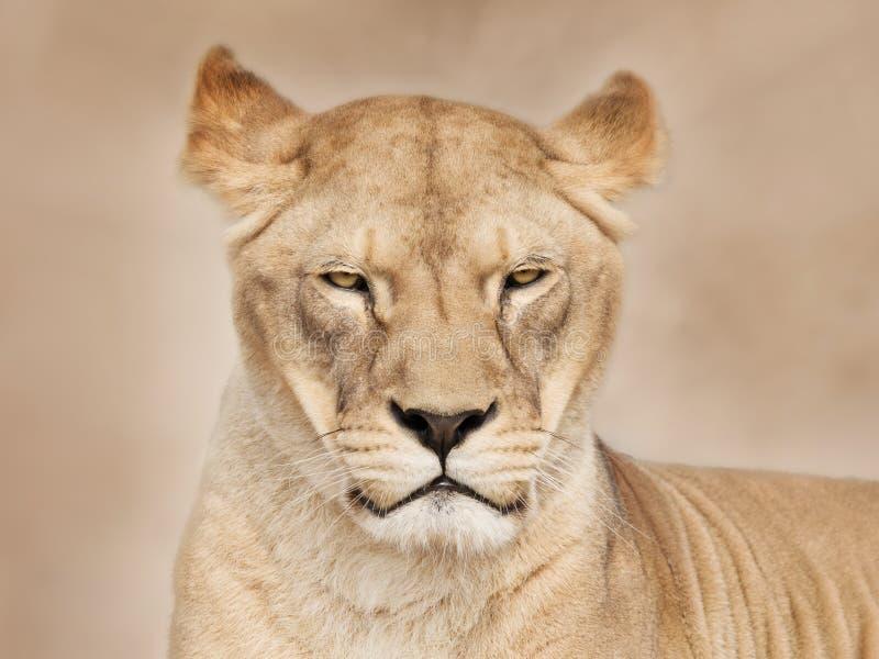 面对雌狮 免版税库存照片