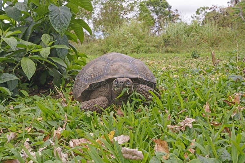 面对面与加拉帕戈斯草龟 免版税图库摄影