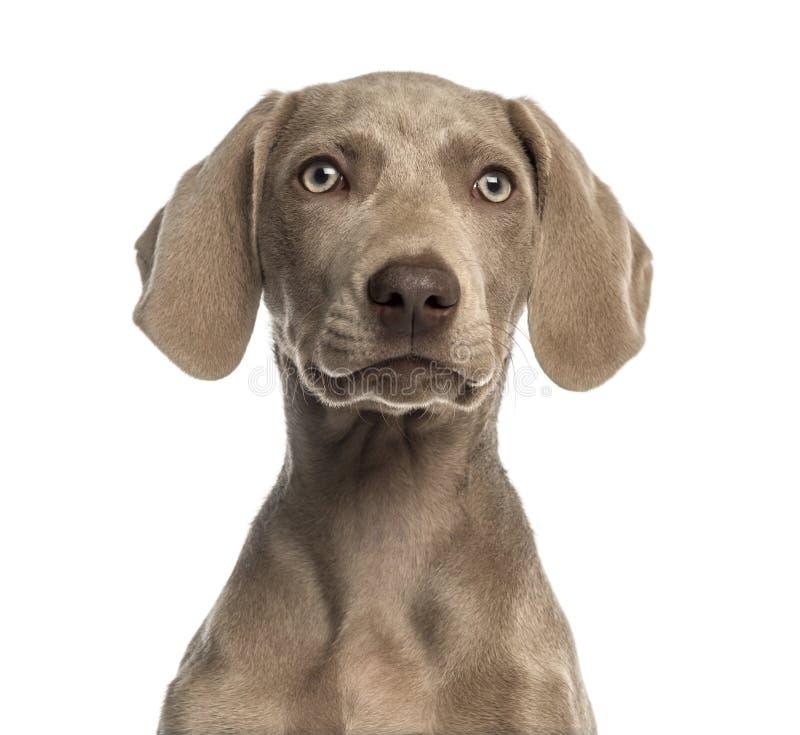面对Weimaraner的小狗的特写镜头, 2,5个月 免版税库存照片