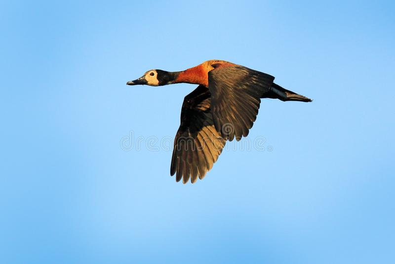 面无血色的吹哨的鸭子, Dendrocygna viduata,在飞行的鸟与蓝天 从潘塔纳尔湿地,巴西的鸭子 行动野生生物场面从 免版税库存照片