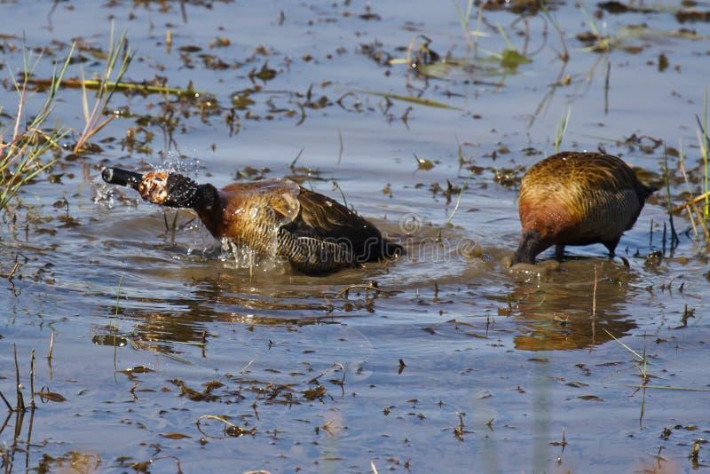 面无血色的吹哨的鸭子 免版税图库摄影