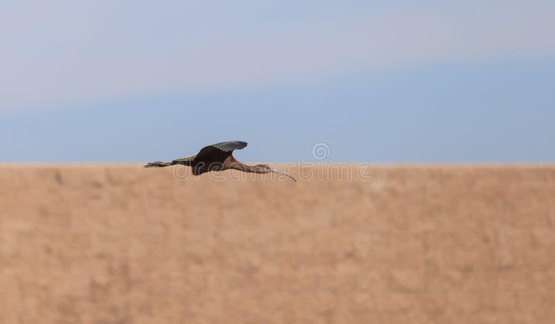 面无血色的朱鹭, Plegadis chihi,飞行 库存照片