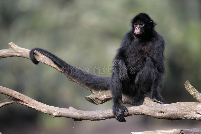 黑面的蜘蛛猴,蛛猴属chamek 免版税库存图片
