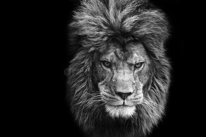 面部震惊狮子男性的纵向 免版税库存照片