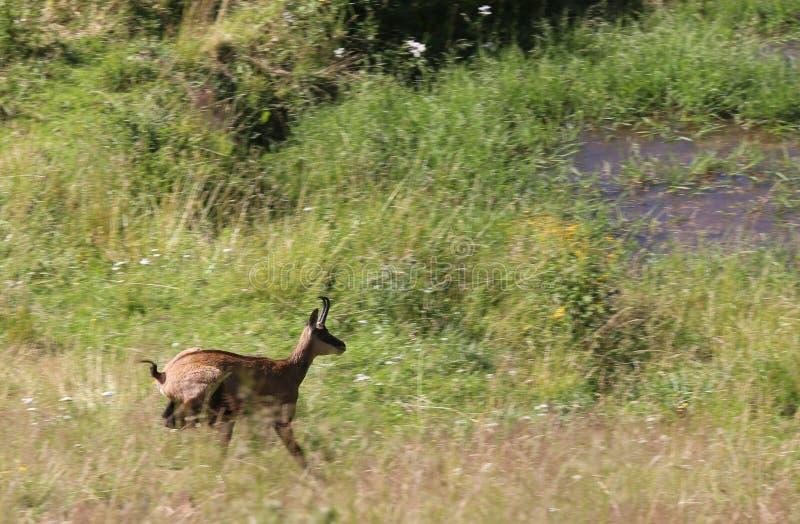 绒面革在山的草跑 库存图片