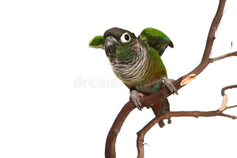 面颊conure绿色 图库摄影