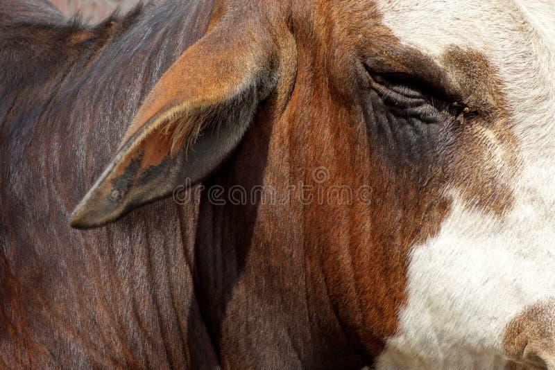 靶心和耳朵的公牛特写镜头 库存图片