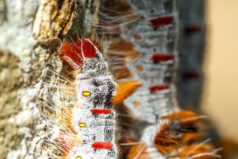 鞋带毛虫马达加斯加野生生物 免版税库存照片