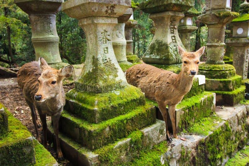 鞠躬鹿在奈良公园,日本 库存照片