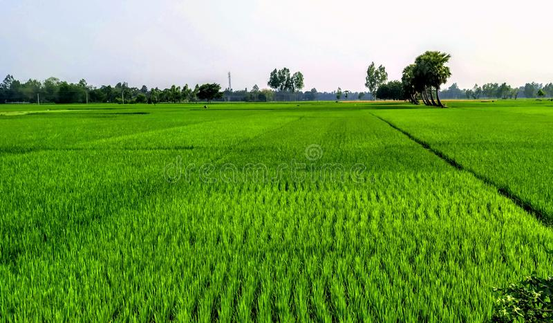鞭子绿色稻田 库存照片