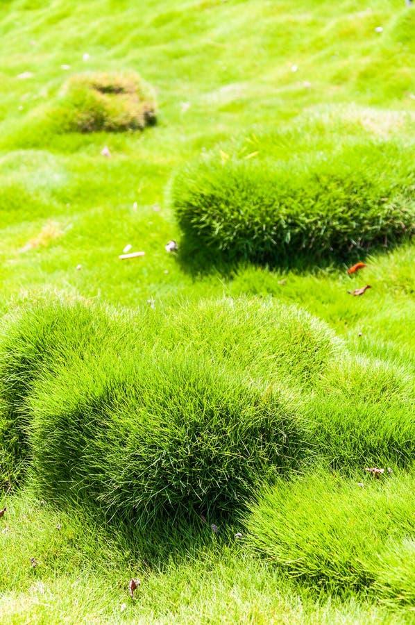 韩国天鹅绒草结缕草tenuifolia或zoysiagrass充满活力和水多的丛和bumbs  库存照片