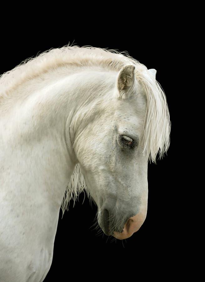 顶头小马s白色 免版税图库摄影