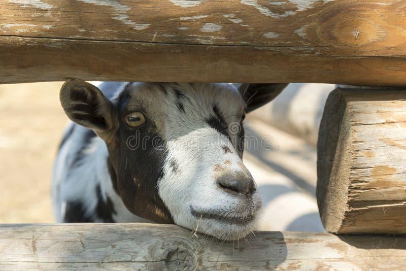 顶头母牛或公牛特写镜头在一个摊位在农场,大农场,eco旅游业 幼小小牛在农场 小牛关心 年轻黑白 免版税库存照片