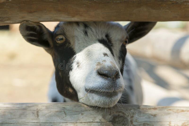 顶头母牛或公牛特写镜头在一个摊位在农场,大农场,eco旅游业 幼小小牛在农场 小牛关心 年轻黑和 免版税图库摄影