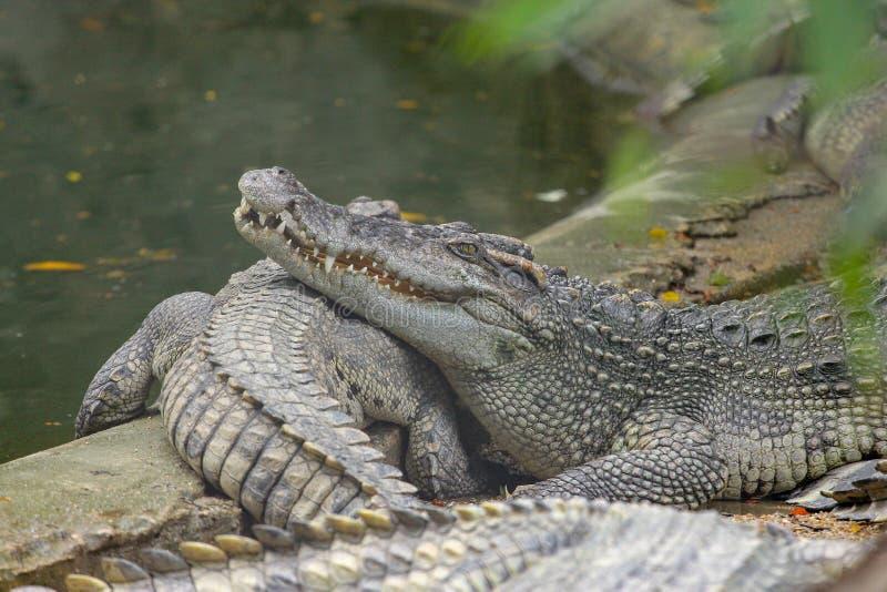 顶头盐鳄鱼睡眠的关闭在运河 免版税库存图片