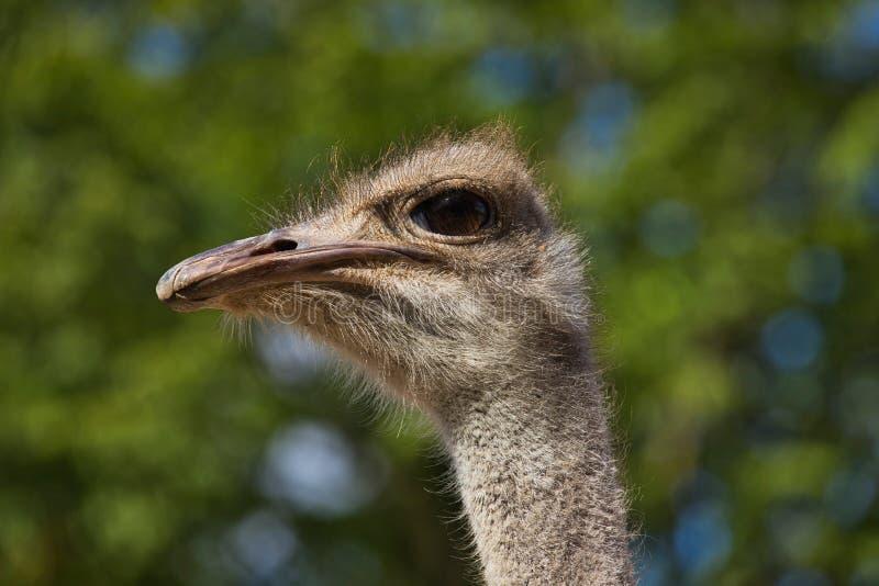 顶头细节南非女性共同的驼鸟非洲鸵鸟类骆驼属特写镜头  免版税库存图片