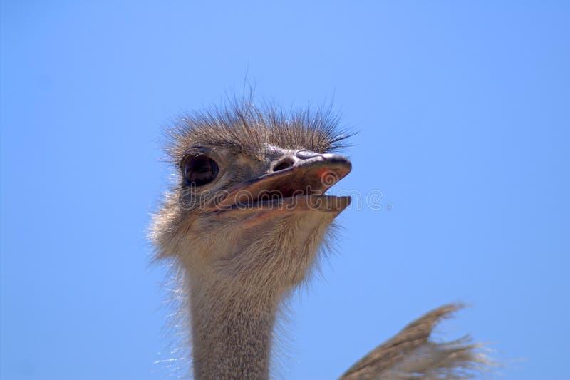 顶头驼鸟 画象 在蓝天背景的特写镜头 免版税库存照片