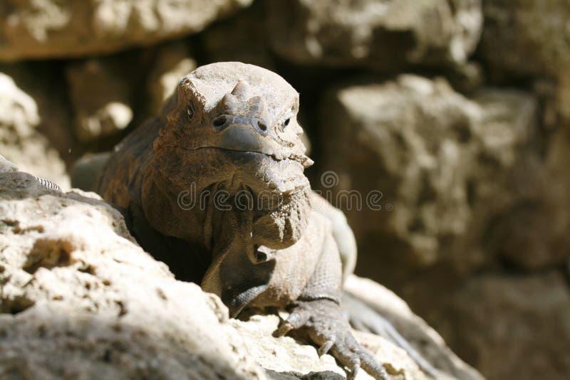 顶头鬣鳞蜥 库存照片
