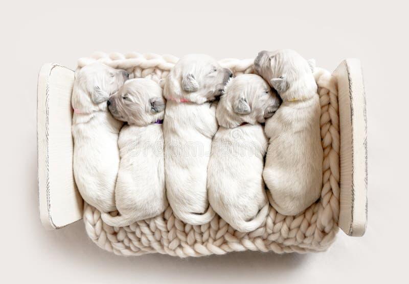 顶视图五只逗人喜爱新出生金毛猎犬小狗睡觉 免版税库存照片