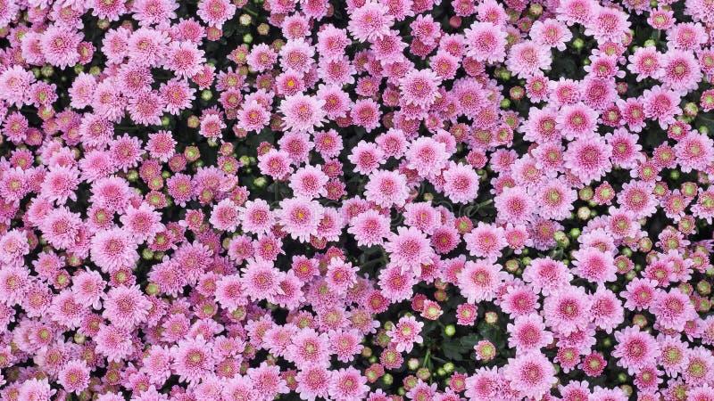 顶视图五颜六色的桃红色菊花花开花在庭院,自然背景里的大小组 库存照片